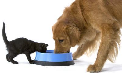 Кошка ест собачий корм: что делать?